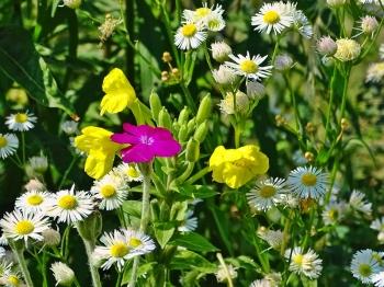 2021-07-24 LüchowSss Garten Feinstrahl (Erigeron annuus) + Vexiernelken (Lychnis coronaria) + Gew. Nachtkerze (Oenothera biennis)