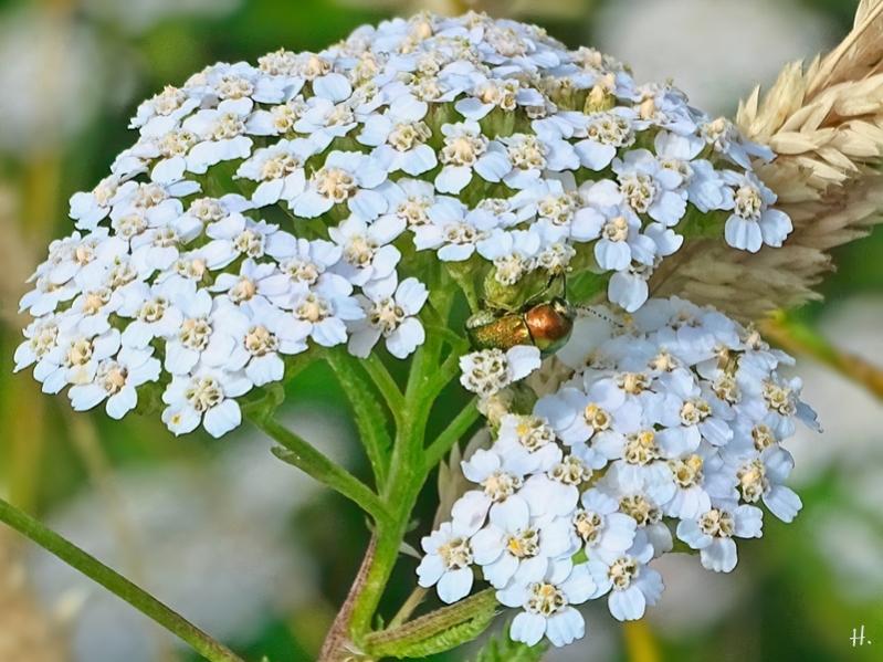 2021-07-05 LüchowSss Garten Wiesen-Schafgarbe (Achillea millefolium)  +  Seidiger Fallkäfer (Cryptocephalus sericeus) (1)