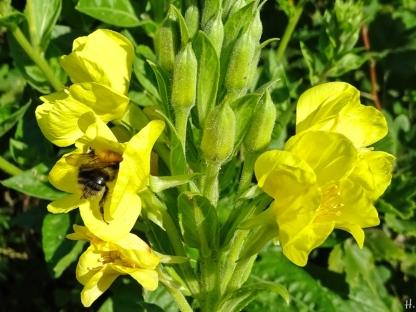 2021-07-04 LüchowSss Garten Gewöhnliche Nachtkerze (Oenothera biennis) + Ackerhummel (Bombus pascuorum)