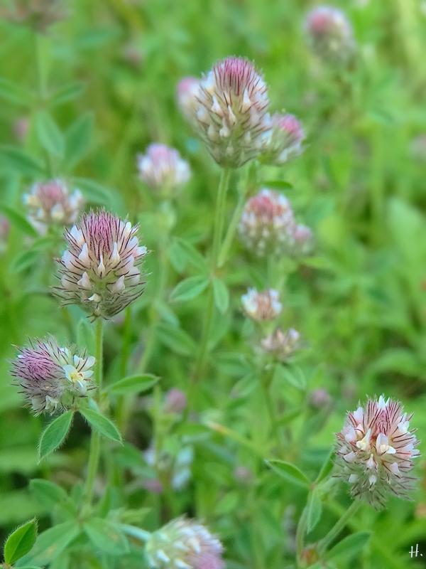 2021-07-05 LüchowSss Garten Hasenklee (Trifolium arvense)