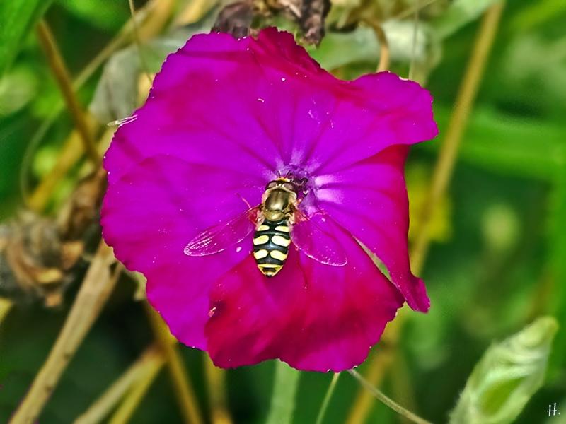 2021-07-05 LüchowSss Garten Kronenlichtnelke (Lychnis coronaria) + Mondfleck-Feldschwebfliege (Eupeodes luniger)