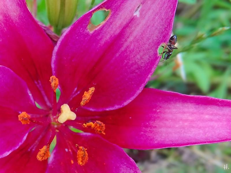 2021-07-05 LüchowSss Garten purpurrote Asiatische Lilie + lilienfressendes Insekt