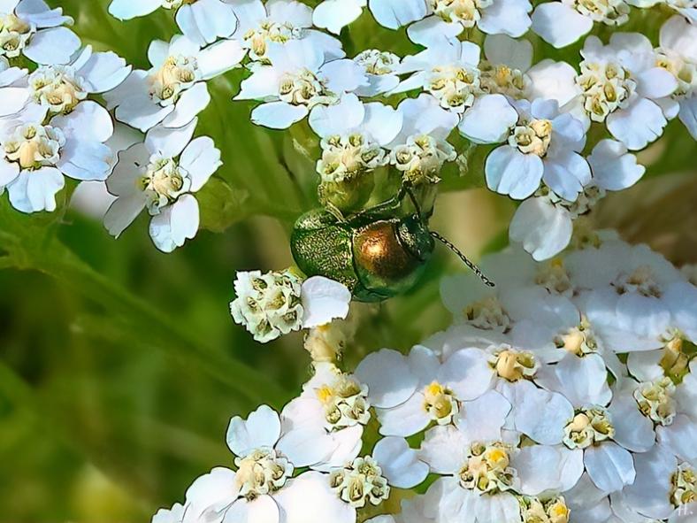 2021-07-05 LüchowSss Garten Wiesen-Schafgarbe (Achillea millefolium) + Seidiger Fallkäfer (Cryptocephalus sericeus)