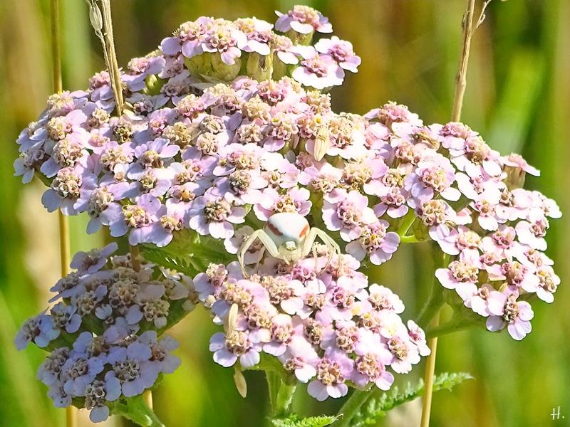 2021-07-05 LüchowSss Garten Wiesen-Schafgarbe (Achillea millefolium) + Veränderliche Krabbenspinne (Misumena vatia)
