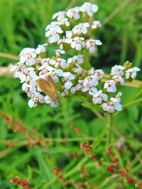 2021-07-05 LüchowSss Garten Wiesen-Schafgarbe + brauner Nachtfalter (1)