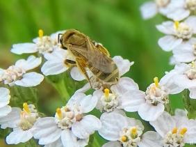 2021-07-06 LüchowSss Garten Gold-Furchenbiene (Halictus subauratus) auf Schafgarbe (Achillea millefolium)
