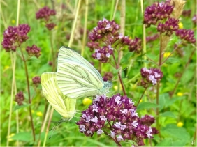 2021-07-06 LüchowSss Garten Wilder Dost (Origanum vulgare) + 2 Grünader- oder Hecken-Weisslinge bzw. Rapsweisslinge (Pieris napi)