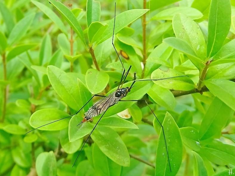 2021-07-07 LüchowSss Garten Gelbbindige Schnake (Nephrotoma crocata) weibl. (1)