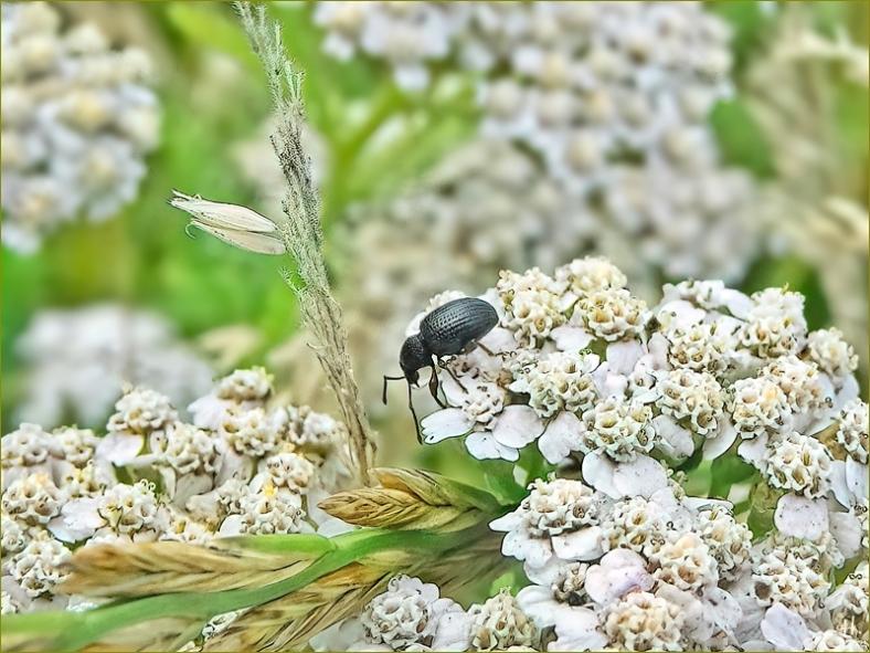 2021-07-07 LüchowSss Garten Wiesen-Schafgarbe (Achillea millefolium) + Schwarzgekörnter Dickmaulrüssler (Otiorhynchus pinastri)
