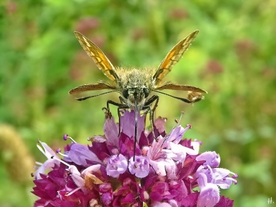 2021-07-07 LüchowSss Garten Wilder Dost (Origanum vulgare) + Komma-Dickkopffalter (Hesperia comma) (3)