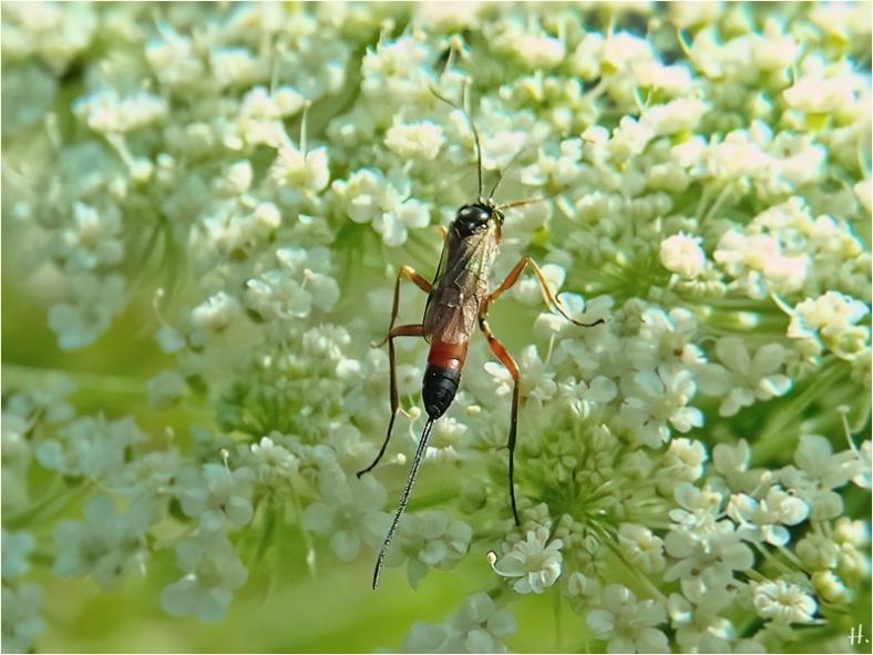 2021-07-10 LüchowSss Garten entweder Brackwespe od. Schlupfwespe (Ichneumonoidea)+ Wilde Möhre (Daucus carota sssp. carota)