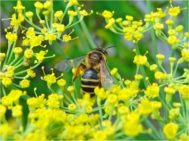 2021-07-10 LüchowSss Garten Fenchel (Foeniculum vulgare) + Rotbeinige Körbchensandbiene (Andrena dorsata) (2)