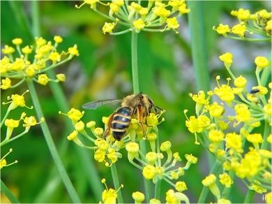 2021-07-10 LüchowSss Garten Fenchel (Foeniculum vulgare) + Rotbeinige Körbchensandbiene (Andrena dorsata) (3)