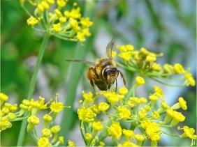 2021-07-10 LüchowSss Garten Fenchel (Foeniculum vulgare) + Rotbeinige Körbchensandbiene (Andrena dorsata) (4)