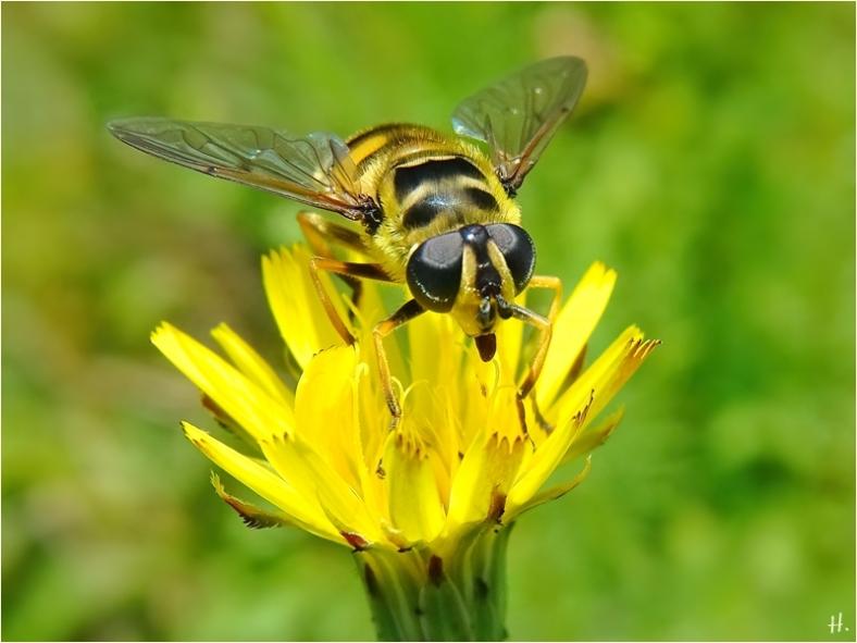 2021-07-10 LüchowSss Garten Gew. Ferkelkraut (Hypochaeris radicata) + Totenkopfschwebfliege (Myathropa florea)