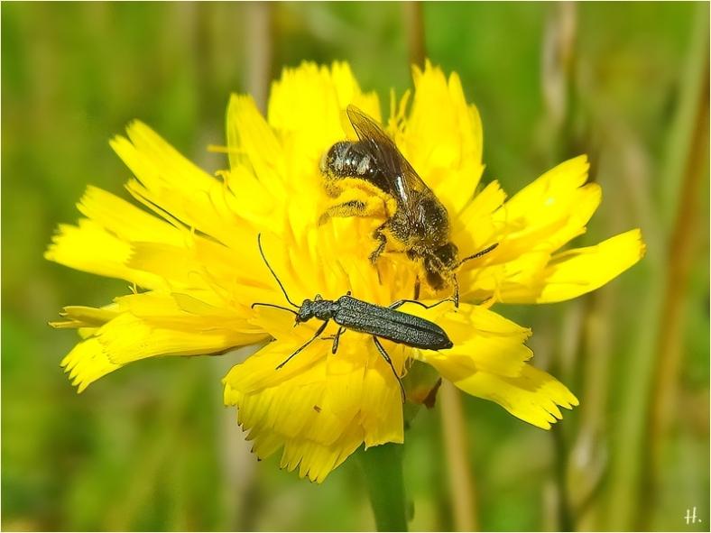 2021-07-10 LüchowSss Garten Gew. Ferkelkraut (Hypochaeris radicata) + unbest. Wildbiene + Graugrüner Schenkelkäfer (oedemera virescens) w