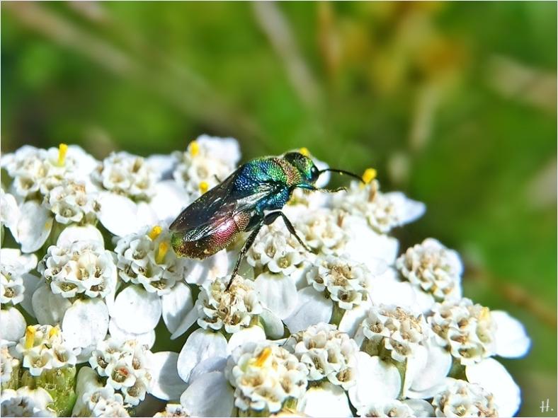 2021-07-10 LüchowSss Garten Schafgarbe (Achillea millefolium) + Bienenwolf-Goldwespe (Hedychrum rutilans)