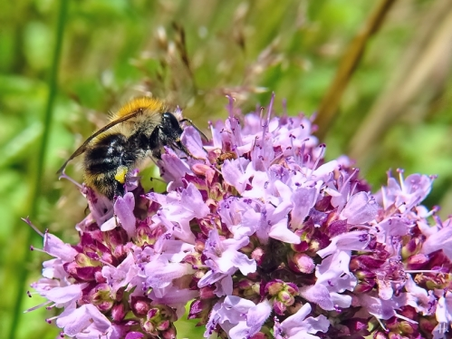 2021-07-10 LüchowSss Garten Wilder Dost (Origanum vulgare) + Ackerhummel (Bombus pascuorum)