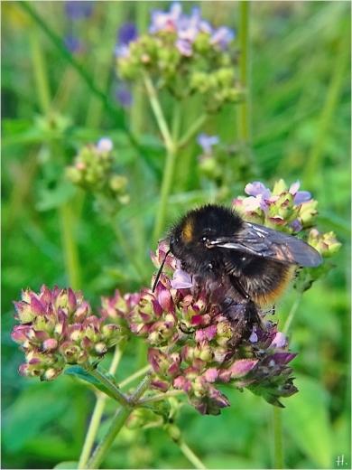 2021-07-10 LüchowSss Garten Wilder Dost (Origanum vulgare) + entweder männl. Steinhummel (Bombus lapidarius)od. WIesenhummel (Bombus pratorum)