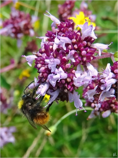 2021-07-10 LüchowSss Garten Wilder Dost (Origanum vulgare) + vermutl. Wiesenhummel (Bombus pratorum)
