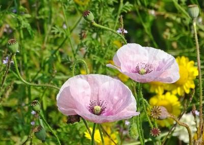 2021-07-11 LüchowSss Garten Klatschmohn bzw. Seidenmohn (Papaver rhoeas) rosa (2)