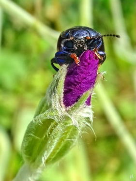 2021-07-11 LüchowSss Garten Kronen-Lichtnelke (Lychnis coronaria) + Blattkäfer (evtl. Himmelblaue Blattkäfer (Chrysolina coerulans) (2)