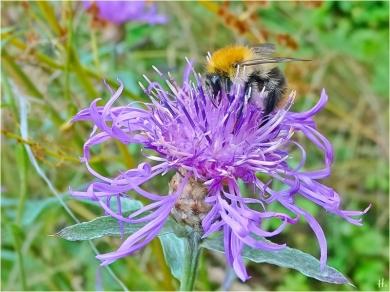 2021-07-11 LüchowSss Garten Wiesen-Flockenblume (Centaurea jacea) + Ackerhummel (Bombus pascuorum)