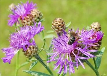 2021-07-11 LüchowSss Garten Wiesen-Flockenblume (Centaurea jacea) + Furchenbiene (Halictus spec.) (3)