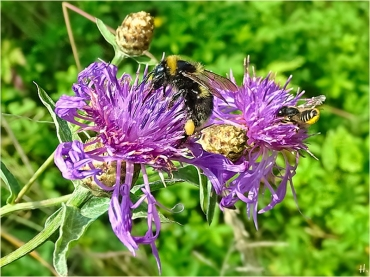 2021-07-11 LüchowSss Garten Wiesen-Flockenblume (Centaurea jacea) + unbest. Erdhummel (Bombus lucorum-terrestris-Komplex) + unbest. Blattschneiderbiene (Megachile spec.)