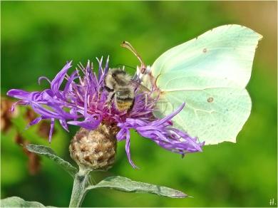 2021-07-11 LüchowSss Garten Wiesen-Flockenblume (Centaurea jacea) + Zitronenfalter (Gonepteryx rhamni) + Bunthummel (Bombus sylvarum)