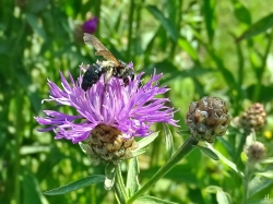 2021-07-18 LüchowSss Garten Flockenblume (Centaurea) mit Köhler-Sandbiene (Andrena pilipes) (2)