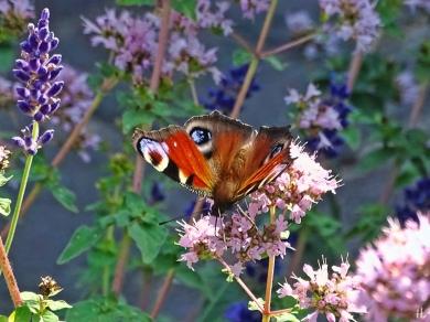 2021-07-18 LüchowSss Garten Tagpfauenauge (Aglais io) + Wilder Dost bzw. Oregano (Origanum vulgare) + Lavendel (1)