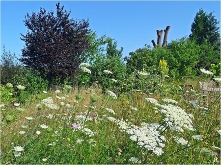 2021-07-18 LüchowSss Garten Wieseninseln mit Wilder Möhre (1)