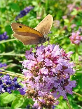 2021-07-18 LüchowSss Garten Wilder Dost (Origanum vulgare) + Grosses Ochsenauge (Maniola jurtina) (3)