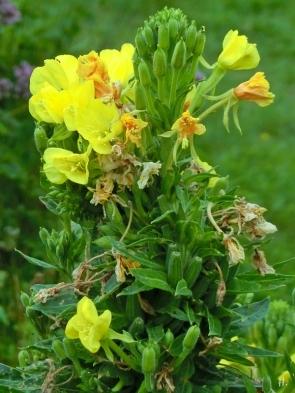 2021-07-19 LüchowSss Garten Gewöhnliche Nachtkerze (Oenothera biennis) mit sich auflösender Verbänderung bzw. Cristate (1)