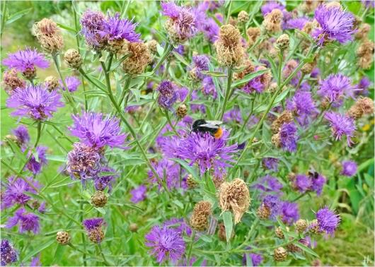2021-07-20 LüchowSss Garten Flockenblumen (Centaurea) + Steinhummeln (Bombus lapidarius)