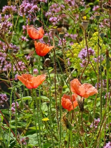 2021-07-20 LüchowSss Garten Klatschmohn (Papaver rhoeas) + Wilder Dost (Origanum vulgare)