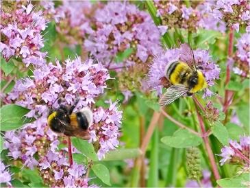2021-07-20 LüchowSss Garten Wilder Dost + Helle Erdhummeln (Bombus lucorum) Jungkönigin + Männchen