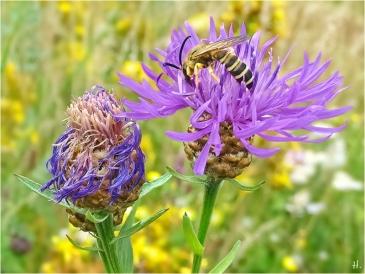 2021-07-21 LüchowSss Garten Wiesen-Flockenblume (Centaurea jacea) + Gelbbindige Furchenbiene (Halictus scabiosae) (2)