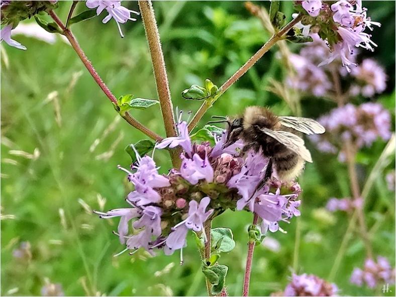 2021-07-21 LüchowSss Garten Wilder Dost + evtl. Sandhummel – (Bombus veteranus), wahrscheinlicher aber: Wald-Kuckuckshummel (Bombus sylvestris) (1A)