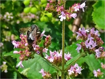 2021-07-21 LüchowSss Garten Wilder Dost (Origanum vulgare) + Schwarze Köhler-Sandbiene (Andrena pilipes) (2)