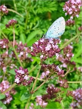 2021-07-21 LüchowSss Garten Wilder Dost (Origanum vulgare) + (vermutl. Faulbaum-)-Bläuling (1)