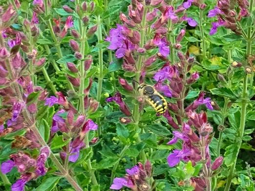 2021-07-22 LüchowSss Garten Immergrüner Gamander (Teucrium x lucidrys) + Garten-Wollbiene (Anthidium manicatum)