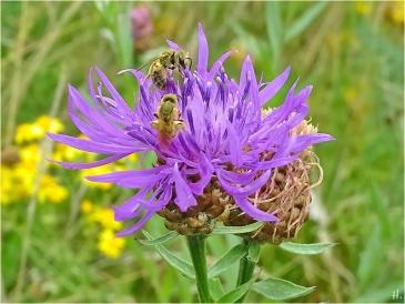 2021-07-23 LüchowSss Garten Wiesen-Flockenblume + 2 Furchenbienen (Halictus spec.) (2)
