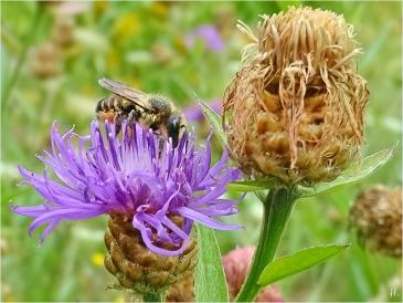 2021-07-23 LüchowSss Garten Wiesen-Flockenblume + Bunte Blattschneiderbiene (Megachile versicolor)