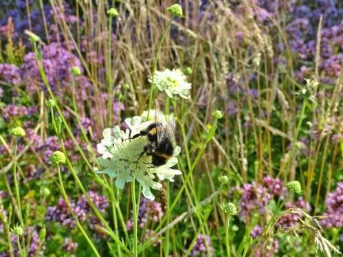 2021-07-24 LüchowSss Garten verm. Kryptarum-Erdhummel (Bombus cryptarum) Drohn + Gelb-Skabiosen (Scabiosa ochroleuca) + Wilder Dost (Origanum vulgare)