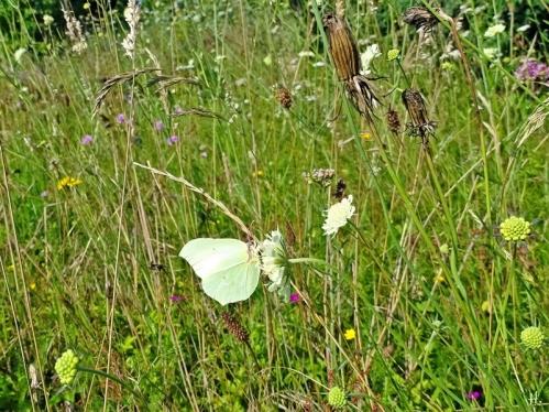2021-07-24 LüchowSss Garten Zitronenfalter (Gonepteryx rhamni) + Gelb-Skabiose (Scabiosa ochroleuca) u.a. auf Wieseninsel