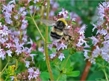 2021-07-25 LüchowSss Garten Wilder Dost (Origanum vulgare) + Helle Erdhummel (Bombus lucorum) männl