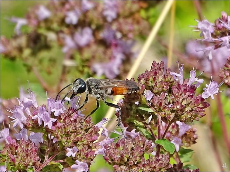 2021-07-25 LüchowSss Garten Wilder Dost (Origanum vulgare) + Heuschrecken-Sandwespe (Sphex funarius) (1)