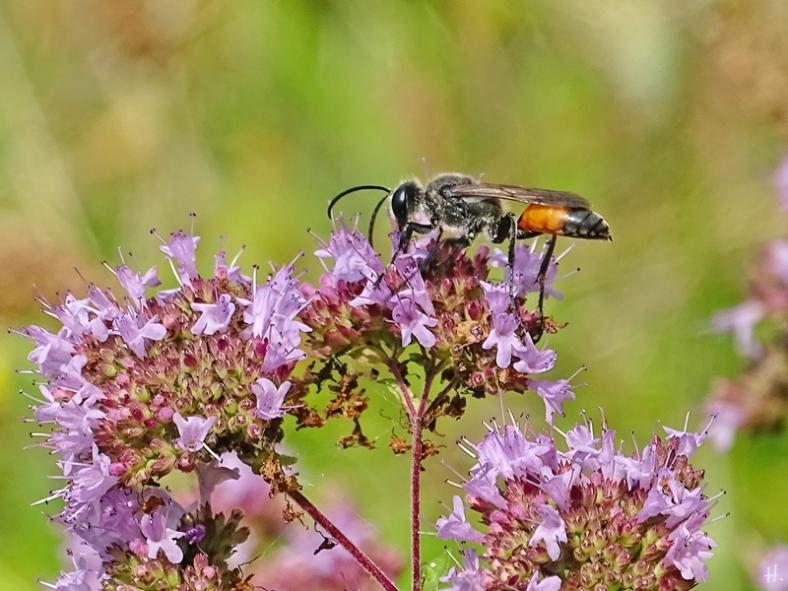 2021-07-25 LüchowSss Garten Wilder Dost (Origanum vulgare) + Heuschrecken-Sandwespe (Sphex funarius) (2)